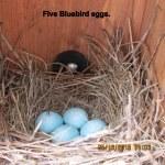 Five Bluebird eggs