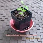 Tomato plant to go