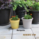Marigolds in old planters