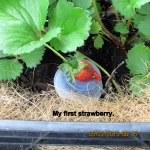 First strawberry