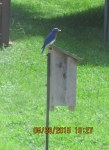 Bluebird on top of bird house