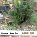 Rosemary is doing fine