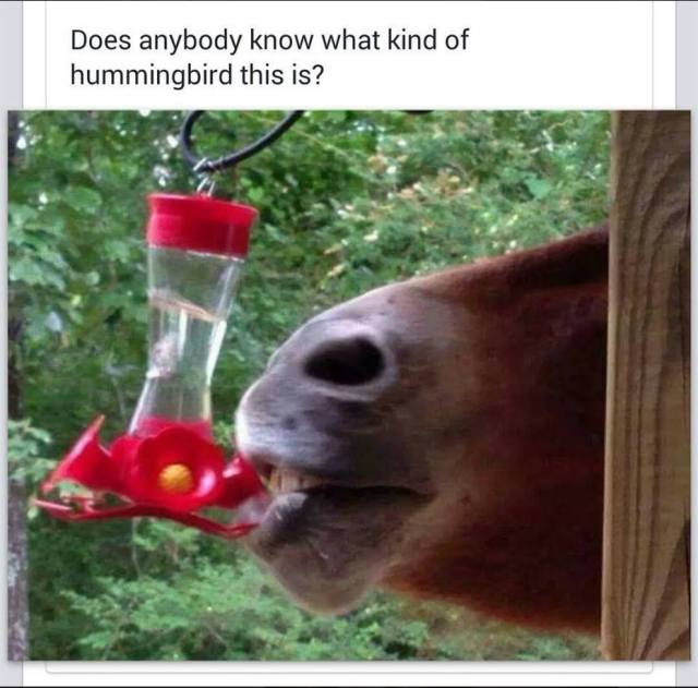Horse drinking from Hummingbird feeder