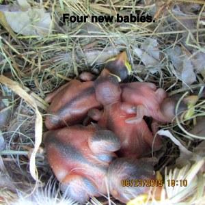 Four baby birds