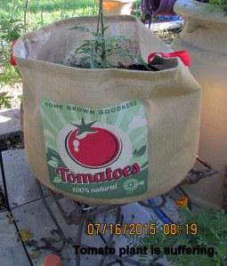 Tomato plant suffering