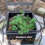 Strawberry plant (1)