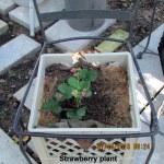Strawberry plant (2)