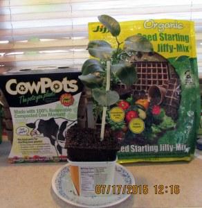 Cow pot display