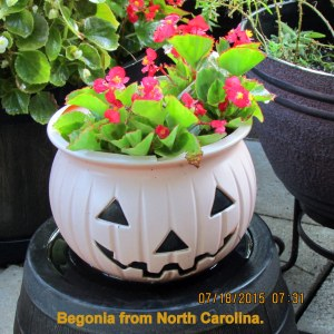 Begonia from North Carolina