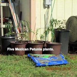 Five Mexican Petunia plants