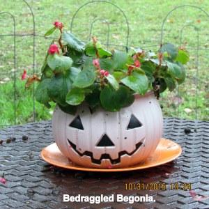 Bedraggled Begonia