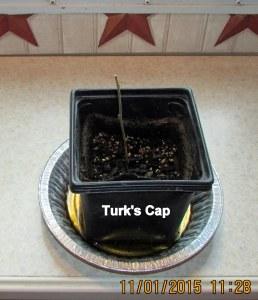 Turk's Cap barely alive