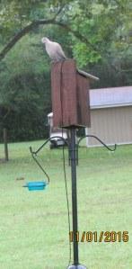 Dove on Bluebird house