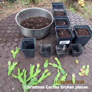 Planting pieces of Christmas Cactus
