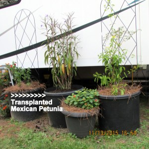 Transplanted Mexican Petunia