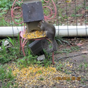 Squirrel on his feeder
