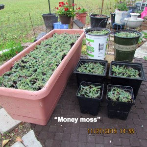 Seven containers with Money Moss