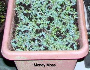 Money Moss close up