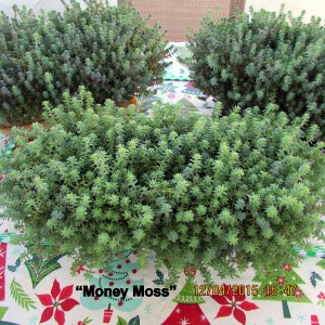 Money Moss