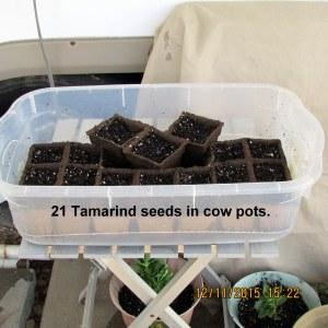Tamarind seeds in cow pots