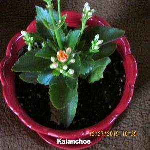 Kalanchoe close up