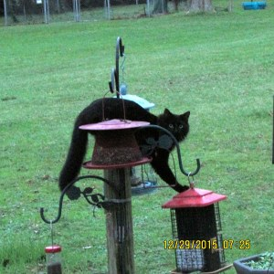 Black cat on bird feeders
