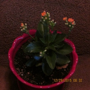 Kalanchoe (without a flash)