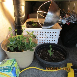 Plants in the basement may bloom