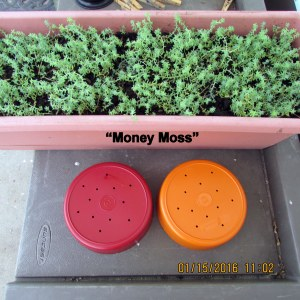Ready to transplant Money Moss