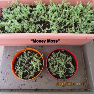 Two shallow planters with Money Moss