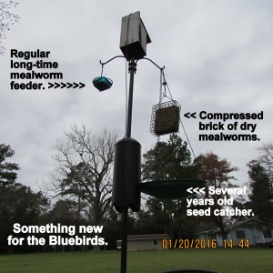 New feeder for the Bluebirds