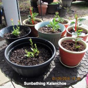 Sunbathing Kalanchoe