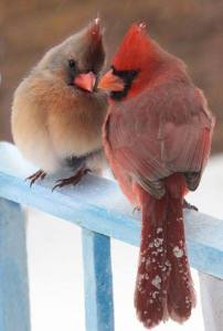 Cardinal couple, oh so cute