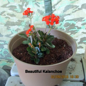 Beautiful Kalanchoe