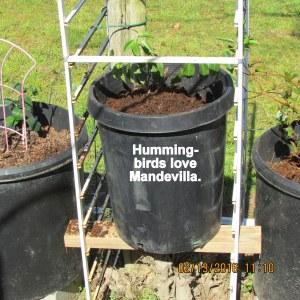 Hummingbirds love Mandevilla
