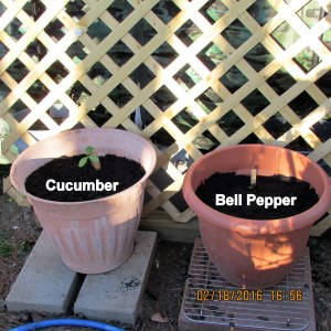 Cucumber and bell pepper transplanted