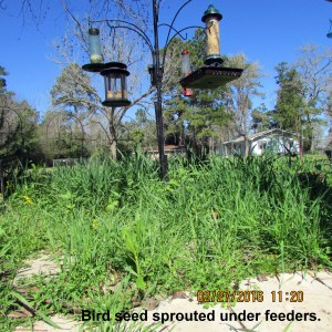 Sprouted seed under bird feeders