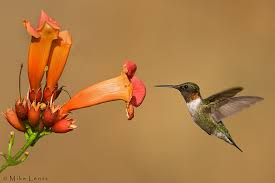 Hummingbird at Trumpet Vine