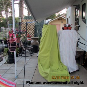 Plants covered overnight (2)