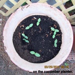 Cucumber seeds planter