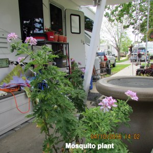 Mosquito plant many blooms