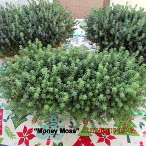 Money Moss parent plants