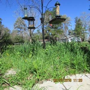 Weeds under bird feeders
