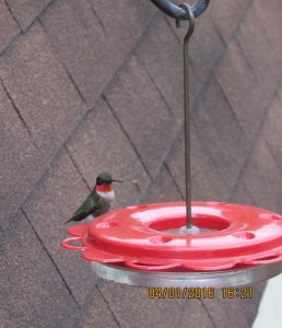 First Hummingbird of this season