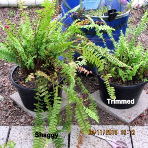 One shaggy and one trimmed fern