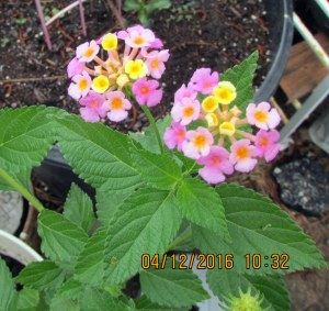 Pretty pink Lantana close up