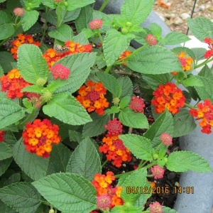 Orange color Lantana