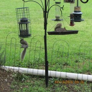 Two squirrels on bird feeders