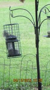 Squirrel enjoying sunflower seeds
