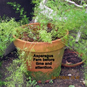 Asparagus fern before time and attention
